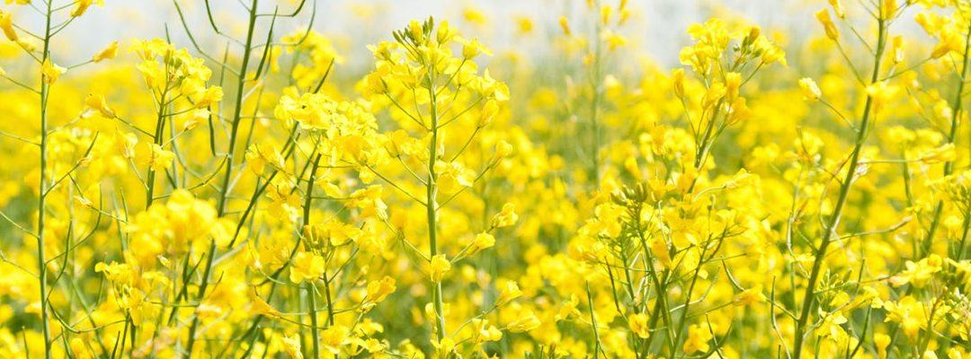 Tim Lamyman rompe su propio record mundial en cultivo de colza usando los productos EcoCulture