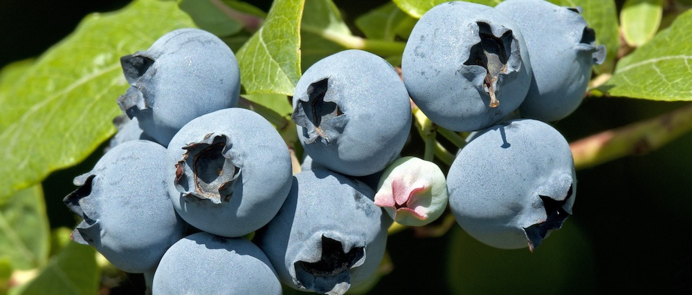 EcoCulture consigue adelantar 20 días la floración y cuajado de arándanos Star en Huelva