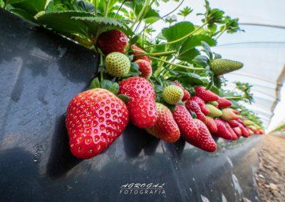 fresa ecoculture 7