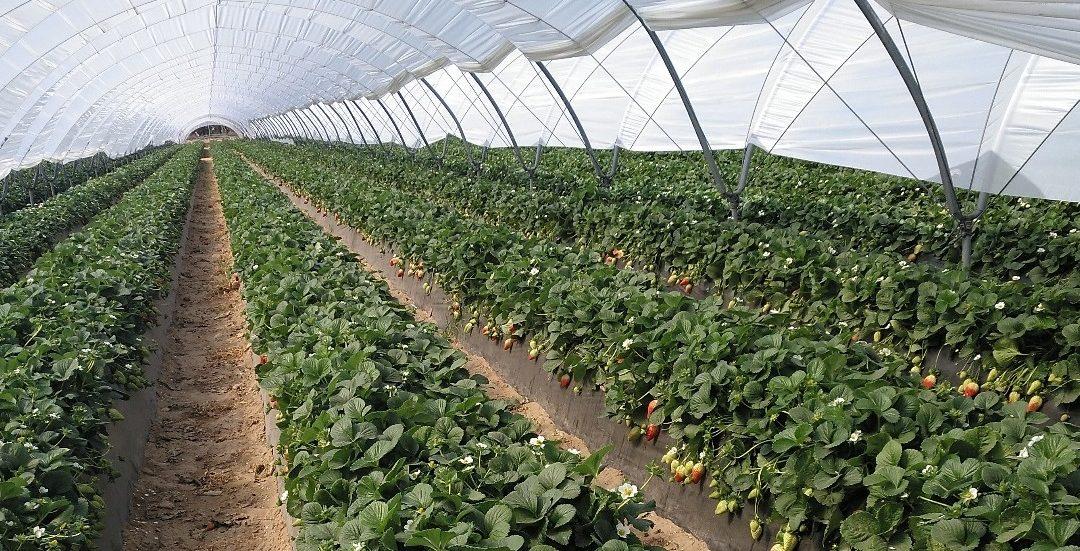 Eficacia de los productos EcoCulture en la prevención del Cracking y la mejora de la coloración en fresa Rociera.