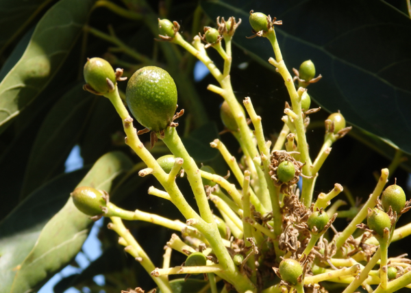 Momento clave para la mejora del cuajado y evitar la caída del fruto en los cultivos de aguacate