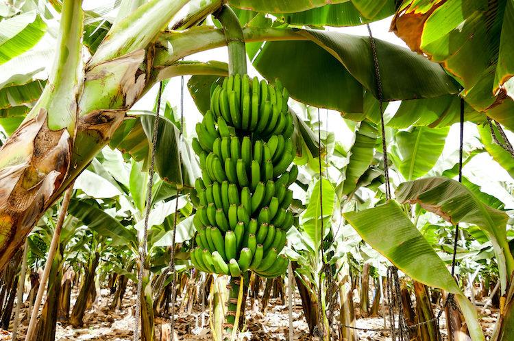 Ecoculture explica sus soluciones para combatir los efectos negativos del estrés en cultivos de Canarias
