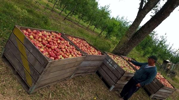 manzana coloración blush ecoculture