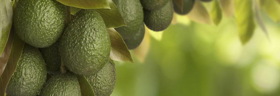 Cultivo eficiente y sostenible de aguacate con el programa Ecoculture.
