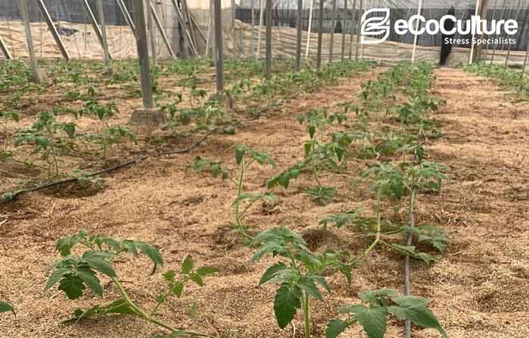 La tecnología de Ecoculture, clave en el inicio de la campaña agrícola para obtener el mejor desarrollo y resultado en el cultivo