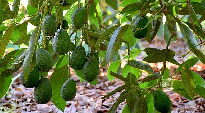 La tecnología Ecoculture consigue un 50% más de frutos cuajados y menor caída de fruto en fase de engorde de aguacate