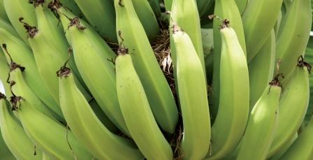 Use of XStress for the PREVENTION of PANAMA DISEASE in bananas
