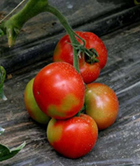 Blush as a solution to Blotchy Ripening in Tomato