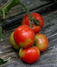 Blush como solución al Blotchy Ripening o Jaspeado en Tomate
