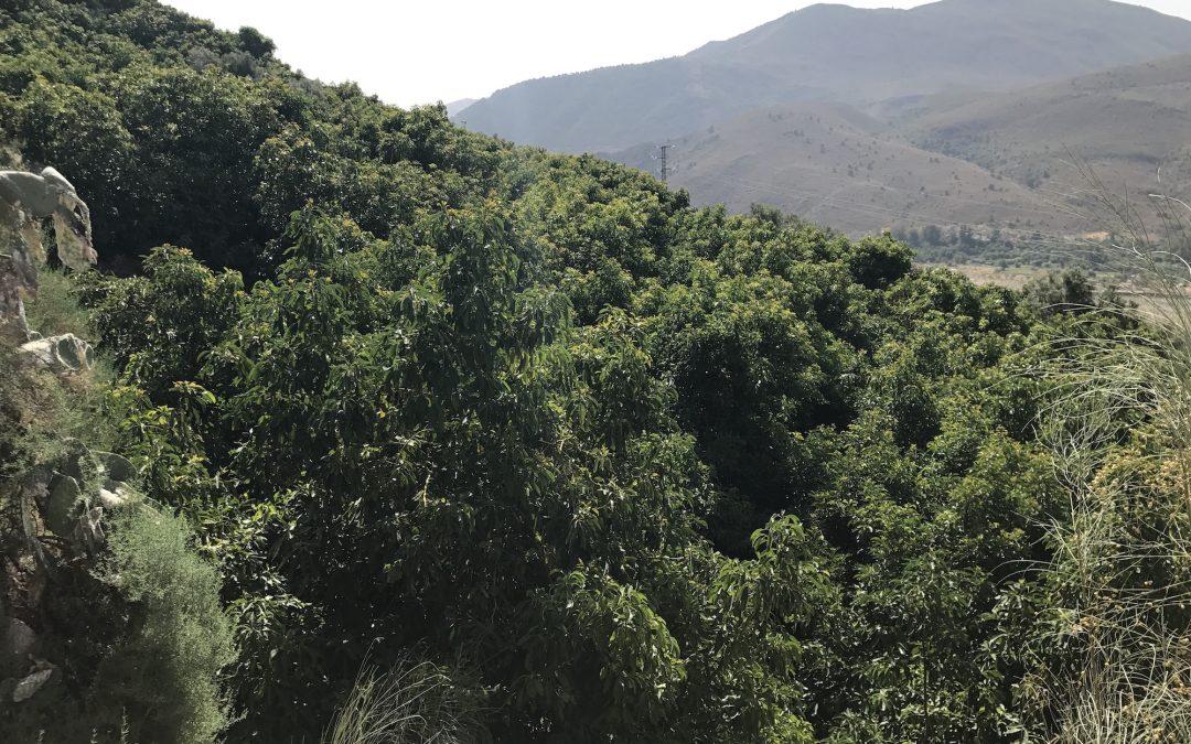 Ecoculture consigue resultados excelentes en aguacates en las extremas condiciones de la Alpujarra granadina