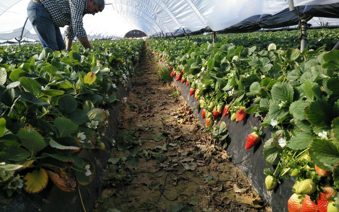 EcoCulture consigue reducir eficazmente la incidencia de puntas blandas en fresas