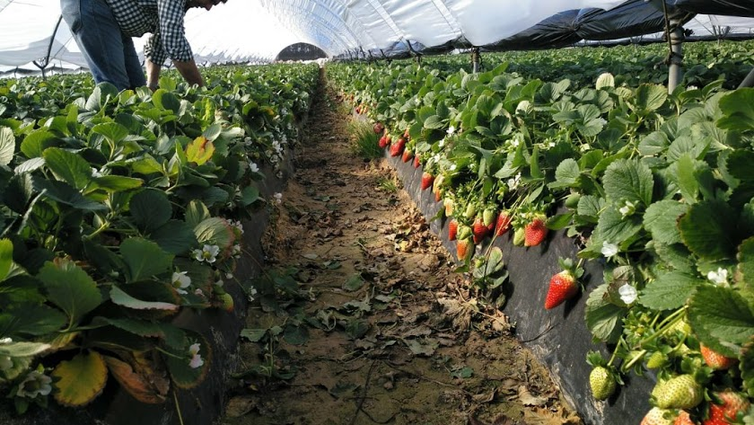 EcoCulture Biosciences quintuplica sus resultados en Huelva con el inicio de la campaña de fresa y arándano