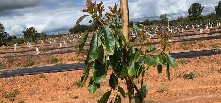 Solución a problemas en plantación nueva de aguacates por situaciones de estrés