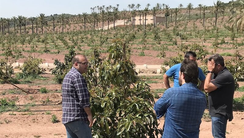 Great improvement of avocado fruit set in Costa Tropical and Levante area with the Ecoculture Biosciences programme