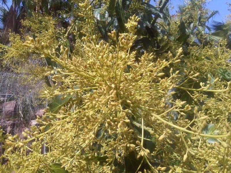 floración aguacate