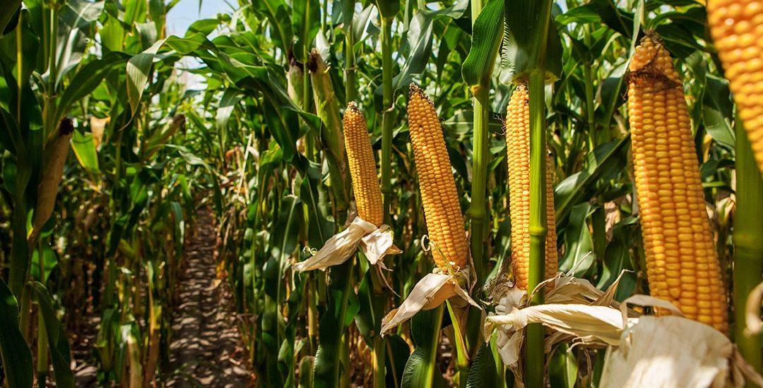 NHDeltaCa, el uso eficiente de nitrógeno en maíz