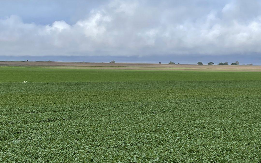 Mejor sistema radicular, más hijos y mayor vigor en plantas de trigo con NHDelta de Ecoculture