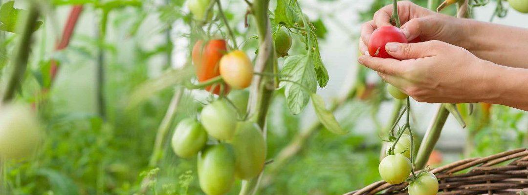Más crecimiento y vida útil del tomate, también en verano ante situaciones de estrés hídrico con XStress